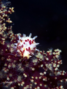 Beautiful cowrie.. by Sven Tramaux