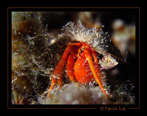 Hermit crab on nigth dive in Marsa Shagra - Egypt - Canon... by Patrick Tutt