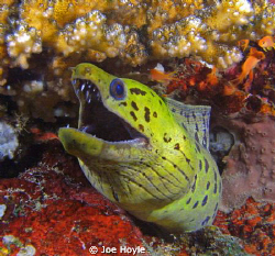 moray eel :) by Joe Hoyle