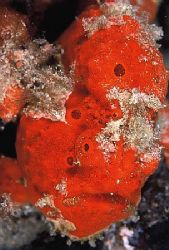 """Frogfish""