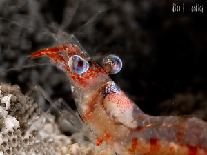Shrimp ( 3 cm ), nightdive shot. That was a fast moving n... by Rico Besserdich