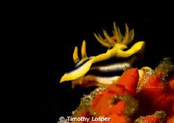 Intensely colorful Kuiter's Choromodoris or Chromodoris K... by Timothy Losper