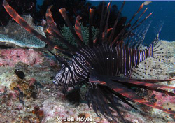 lionfish.. by Joe Hoyle
