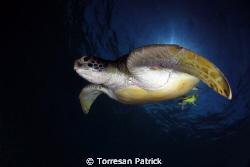 Tartaruga verde gigante by Torresan Patrick