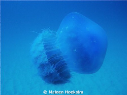 Blue Jellyfish by Maleen Hoekstra