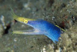 """""""Blue Ribbon Eel"""" Taken on 5 mile reef at Sodwana Bay, S... by Brian Welman"""