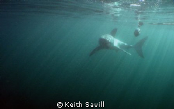 Great White in early morning rays of light. Canon Ixus 85... by Keith Savill