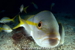 yellow tail snapper licking my dome port =) by Javier Sandoval
