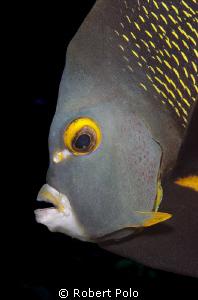 Angel fish, Cozumel, 2010 by Robert Polo