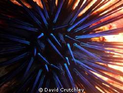 How nice to get a pic of the spiney sea urchin during the... by David Crutchley