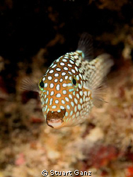 Whitespotted Boxfish by Stuart Ganz