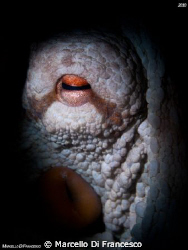 Snooting Polpo Paul by Marcello Di Francesco