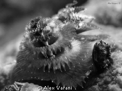 Spirobranchus giganteus b/w by Alex Varani
