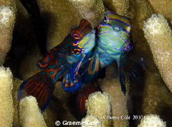 Manderin Fish shot at Mimpi Lagoon at Menjangen Bali with... by Graeme Cole