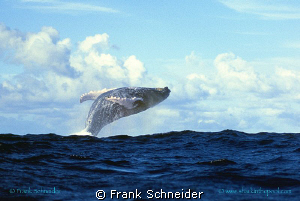 Humpbackwhale jumping