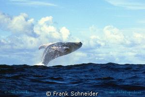 Humpbackwhale jumping  Nikon F4, f2.8/70-200 mm, Film V... by Frank Schneider