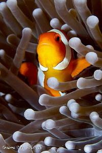 Clown fish taken at Menjangen Island Bali with Canon 7D w... by Graeme Cole