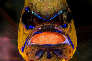 Ring Tailed Cardinal Fish with Eggs. He was under a tabl... by Richard Witmer