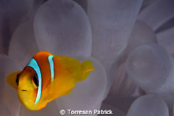 Clown fish by Torresan Patrick