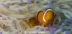 False Anemone Fish. by Timothy Losper