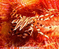 Zebra crab on fire urchin, Komodo, Indonesia by Michael Gallagher