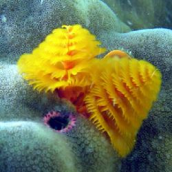 Christmas Tree Worm. Turquoise Bay - Exmouth. by Penny Murphy