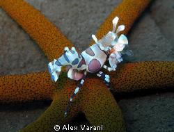 hymenocera elegans dinner by Alex Varani