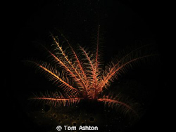 Snooted crinoid, looking theatrical. by Tom Ashton