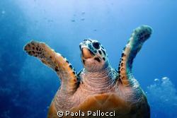 sea turtle by Paola Pallocci