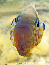 Very upset pumpkinseed sunfish... by Daniel Wernli