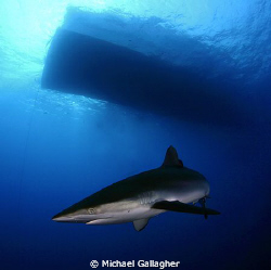 Silky shark under the Royal Evolution, Sudan by Michael Gallagher