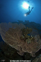 Giant Sea fans - Sharm el sheik by Marcello Di Francesco