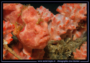 """""""King of the Camouflage..."""" Frog Fish in a Sponge... Que ... by Michel Lonfat"""
