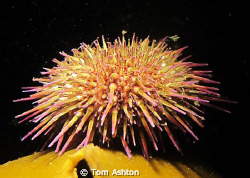Snooted urchin. The technique is proving great for low-vi... by Tom Ashton