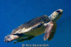 Common Sea-Turtle ( Caretta Caretta ) as shot 3 hours ago... by Rico Besserdich