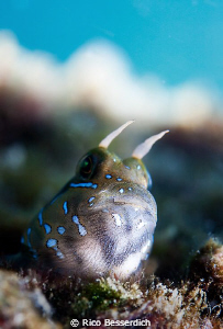 """Hey, what's cookin' ?"" Small Blenny, shot from down to u... by Rico Besserdich"
