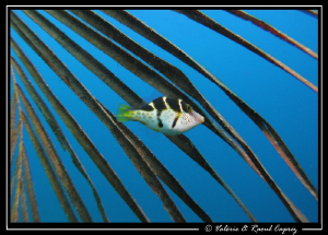 Canthigaster valentini playing in a palm tree's palm. In... by Raoul Caprez