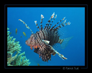 Lionfish in Marsa Shagra - Egypt - Canon S90 with hand to... by Patrick Tutt