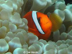 clownfish hiding!! by Joe Hoyle