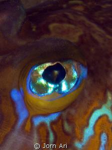 Eye of a Dragonet (Callionymus maculatus) Photo taken in... by Jorn Ari
