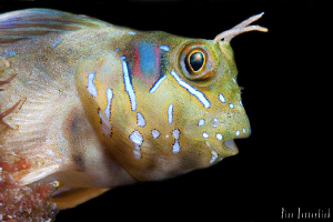 Blenny V2. Tiny small fish that lives in the wooden frame... by Rico Besserdich