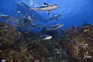 Here they come .....lots of Reef Sharks come to perform a... by Steven Anderson