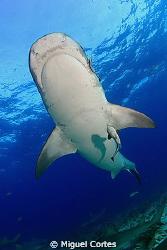 Tiger shark. by Miguel Cortes