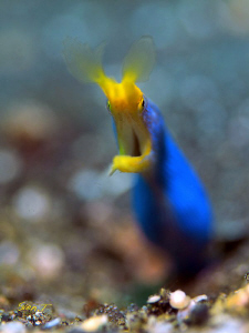 Blue ribbon eel by Sven Tramaux