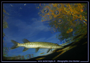 Small Pike Fish on the hunt close to the surface... Que d... by Michel Lonfat