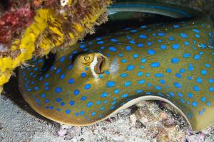 Blue spotted ray taken at Menjangan Island Bali. by Graeme Cole