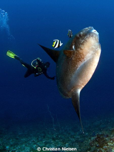 A great encounter. The mola mola is a big weird fish. Tha... by Christian Nielsen
