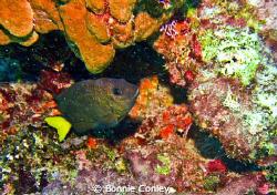 Damselfish seen in Grand Cayman August 2010.  Photo taken... by Bonnie Conley