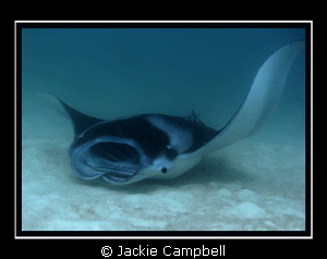 Manta skimming the bottom whilst feeding. Canon S90, man... by Jackie Campbell