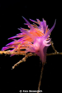 Flabellina afinis by Rico Besserdich
